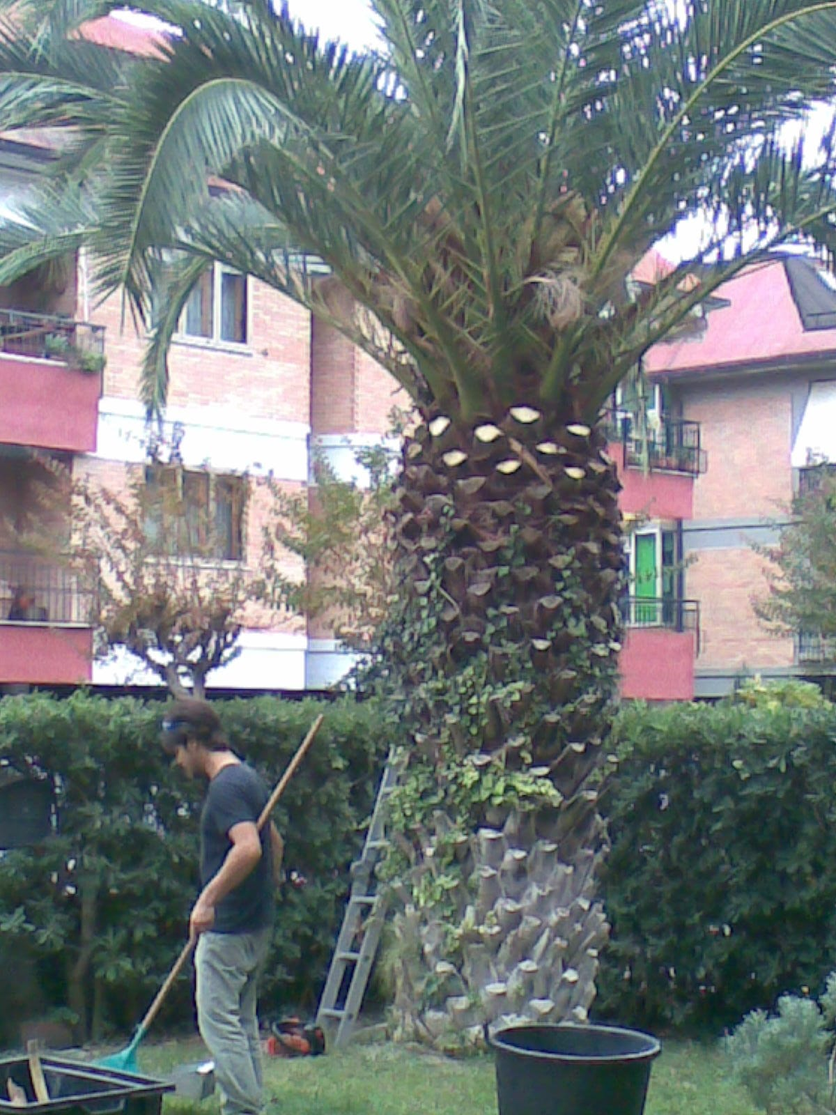 Potatura di una Palma Phoenix