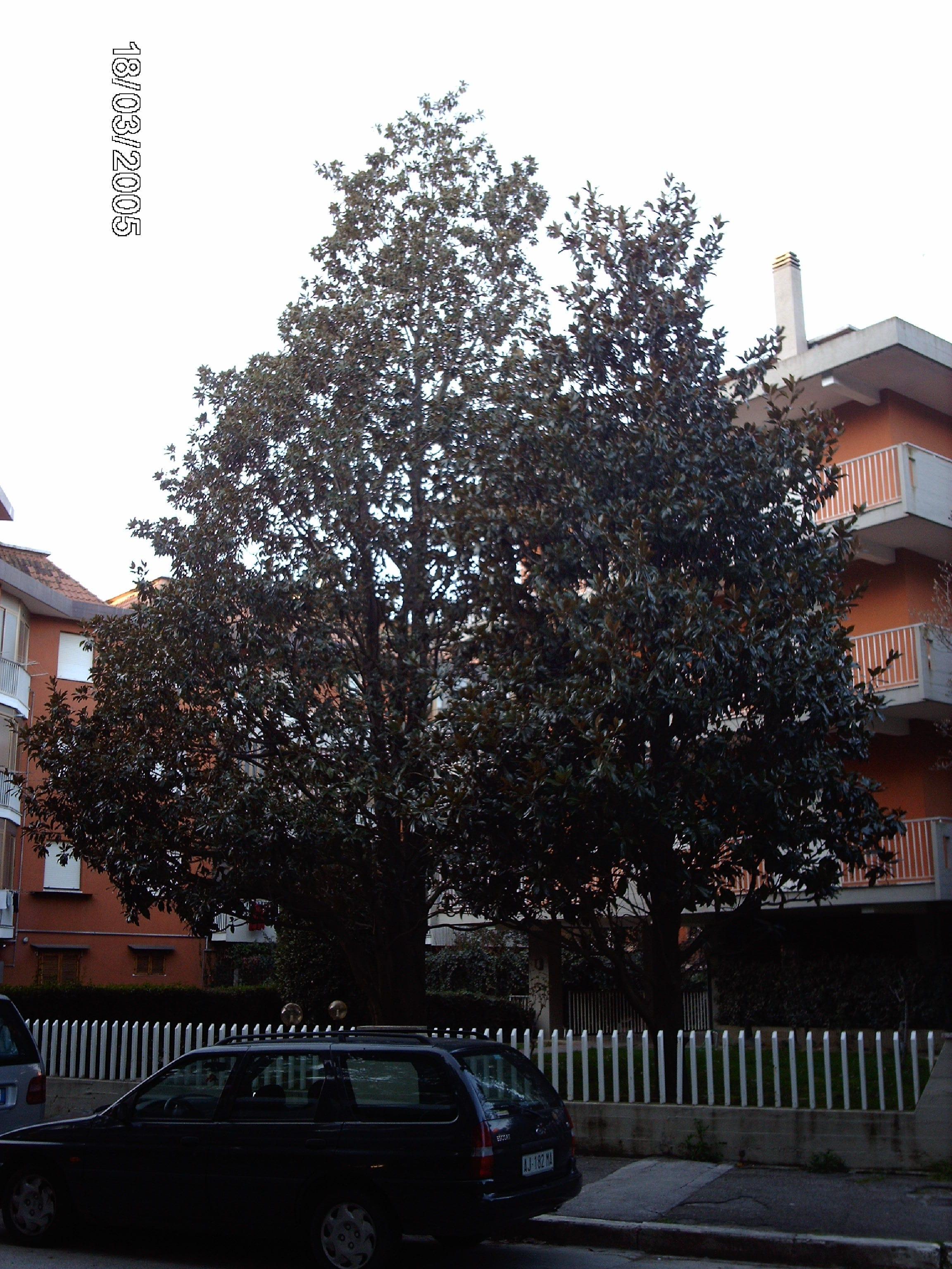 Potatura di una Magnolia