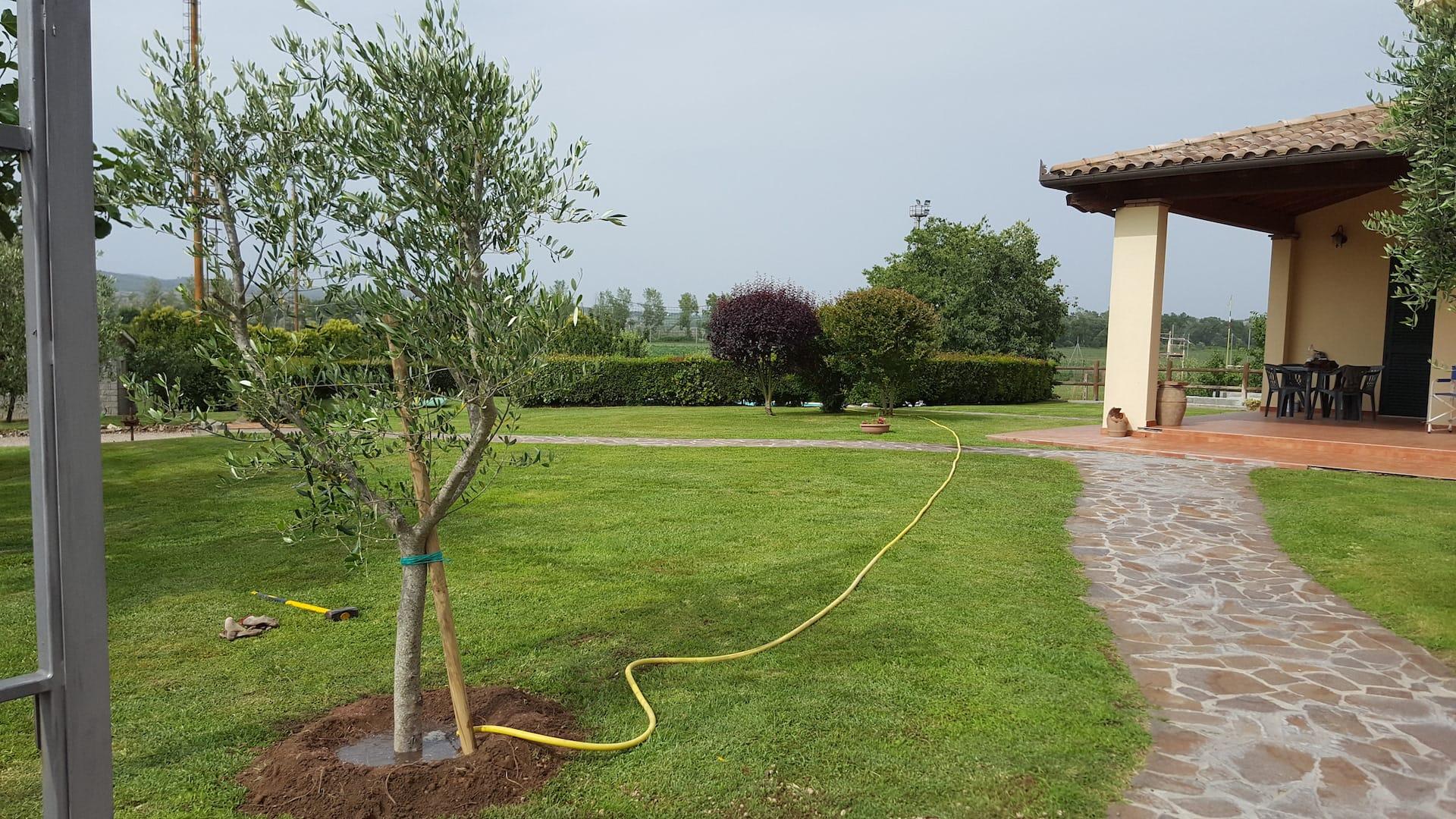 Piantumazione olivo
